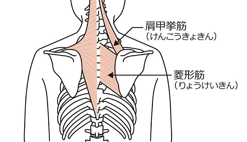 菱形筋(りょうけいきん)と肩甲挙筋(けんこうきょきん)
